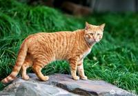 中華公狸貓為什麼春天會跑掉不回來?養了好幾只了,每天大魚大肉的侍候著還跑掉好傷心?