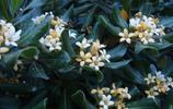 植物圖集:冬青樹