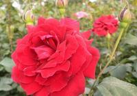 月季、玫瑰、薔薇怎樣分辨?各自有什麼養護要點