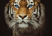 心理測試:哪隻老虎最霸氣?測你將來會有多少存款
