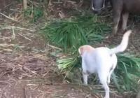 狗子從小幫主人幹農活,還會喂牛吃草,懂事到主人想哭