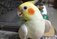 打算養只鸚鵡,虎皮鸚鵡跟玄鳳鸚鵡哪種比較好?