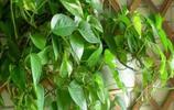 還在用淘米水養綠蘿?用這種水可以讓你的綠蘿又綠又爆盆