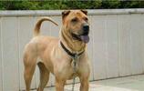 中國國產9大猛犬