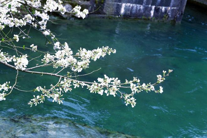 杭州太子灣的鬱金香到底開得怎麼樣了?實地拍攝,前方高能預警