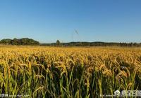 南方到底能不能種北方的一季稻粳稻?能種為什麼不種?