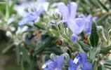 植物圖集:迷迭香植物美圖
