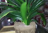 春季給君子蘭換一次盆,盆裡墊點這,長勢旺,葉大花又多!