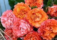 傳說月季越剪開花越多枝條越壯,那麼具體月季修剪應該怎麼操作