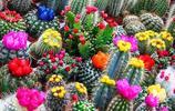 比多肉更萌的迷你仙人掌,特別是第四個,開花的時候超漂亮