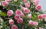 最容易爆棚的花卉就是爬藤了,種上一株輕鬆享受花園生活