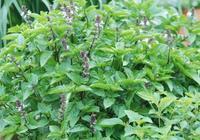 羅勒栽培怎樣才能優質高產?
