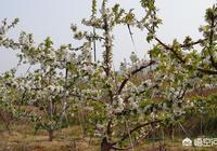 櫻桃花開得多,坐果率低,開完花長到和豆子大小就掉了,誰知道為什麼?