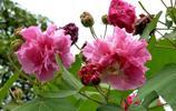 木芙蓉是成都市市花,其花語為纖細之美,貞操,純潔
