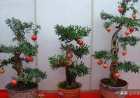 盆栽石榴要怎麼種?盆栽石榴的栽培方法