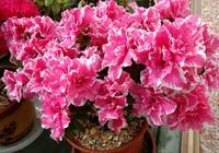 杜鵑花盆栽葉片發黃乾枯的原因總結,搖動花盆是方法