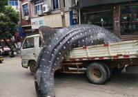 捕獵、放血、貨車運送、現場切割……一條鯨鯊的生死時速