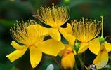 燦若金絲的花蕊——美麗的金絲桃花