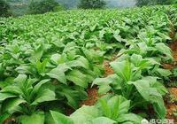 你有沒有見過種植菸草的?種植菸草對於土地有什麼影響?