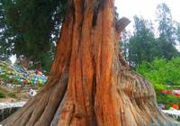 中國最著名的十大名樹 鳳凰鬆 天下第一鬆