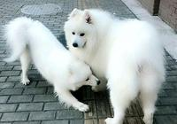 薩摩耶和金毛生的小狗,小時候可愛,長大後不敢恭維