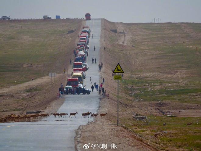 遷徙的藏羚羊