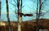 在大興安嶺,有一種鳥非常想低調但實力不允許,你知道它叫啥嗎?