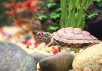 小巧可愛的德克薩斯地圖龜,應該如何飼養?