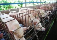 用酒糟來餵豬的祕訣是什麼?
