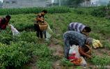 六旬老人凌晨4點摘辣椒 每天只掙30元 這活你能幹嗎 實拍農村摘辣椒
