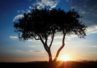 雙語:席慕蓉·《孤獨的樹》