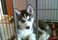 到底該不該把狗狗關在籠子裡養?來聽聽寵物專家的意見