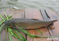 """在農村,人們又將草魚稱為""""強盜草魚"""",農民為什麼會這樣稱呼草魚?"""