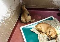 狗狗天天臉貼牆壁,對食物都沒興趣,義工:這狗怕人已經要沒救了