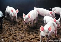 農村養豬:資深養豬農告訴你,看豬膚色判斷豬病!