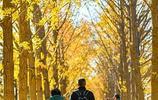 北京:釣魚臺銀杏進入最佳觀賞期 北風鋪就靚麗金色大道
