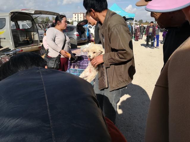 狗市:泰迪你知道它嗎?商販出售泰迪,買主看中一隻黑色泰迪!