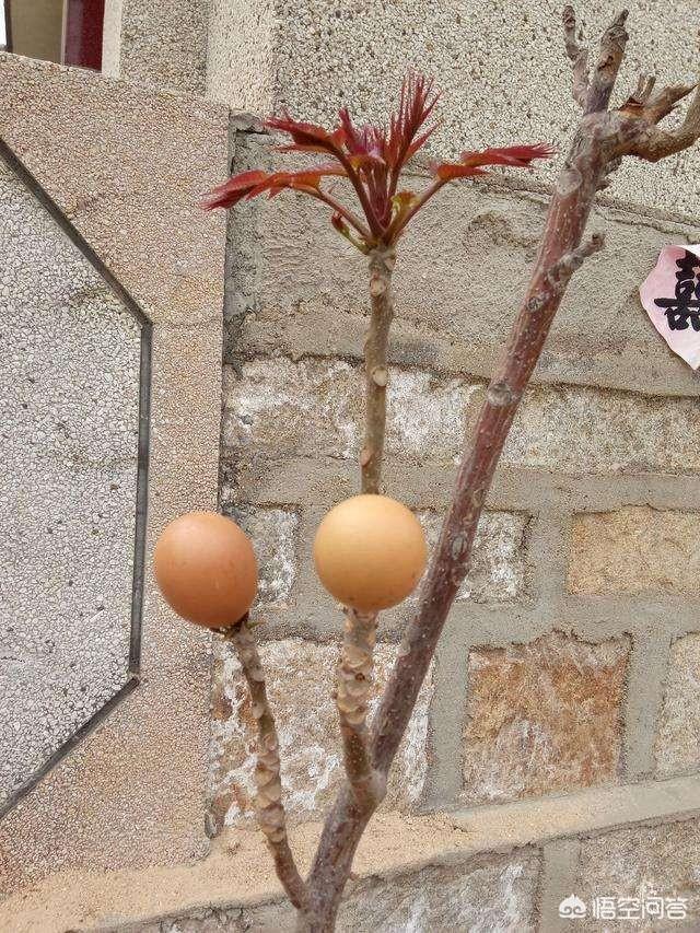 香椿火了你們知道嗎,除了香椿炒雞蛋還有什麼好吃的做法?