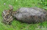 妻子放羊玩手機抬頭看見一條蟒蛇正在吞羊,報警後4人將其制服