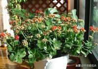 """冬季養長壽花就澆這種""""酸酸水"""",一個月澆2次,花期開爆盆"""