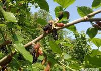 農村種植的桑樹,長出來的桑葚有什麼價值?