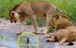 兩隻叢林之王竟被這東西嚇破了膽不敢靠近,不仔細看還真看不到它