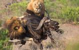 雄獅獵殺野牛全過程