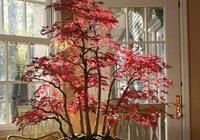 怎樣才能製作出漂亮的紅楓造型盆景