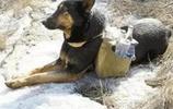 這樣的中華田園犬,我要養一打!網友表示這隻狗真的是太暖人心了