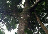 瞭解沉香樹的生長環境和人工種植沉香樹