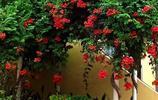 適合陽臺庭院種植的9種爬藤,不用怎麼打理也能一年四季開滿花朵