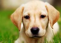 推薦幾類適合城市中飼養的大中型犬類