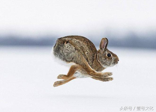 時速72KM\/h的歐洲兔