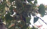 它是幾億年前遺留下來的,枝葉乾果都有極高價值,被稱為樹中的老壽星,原來果實可以吃